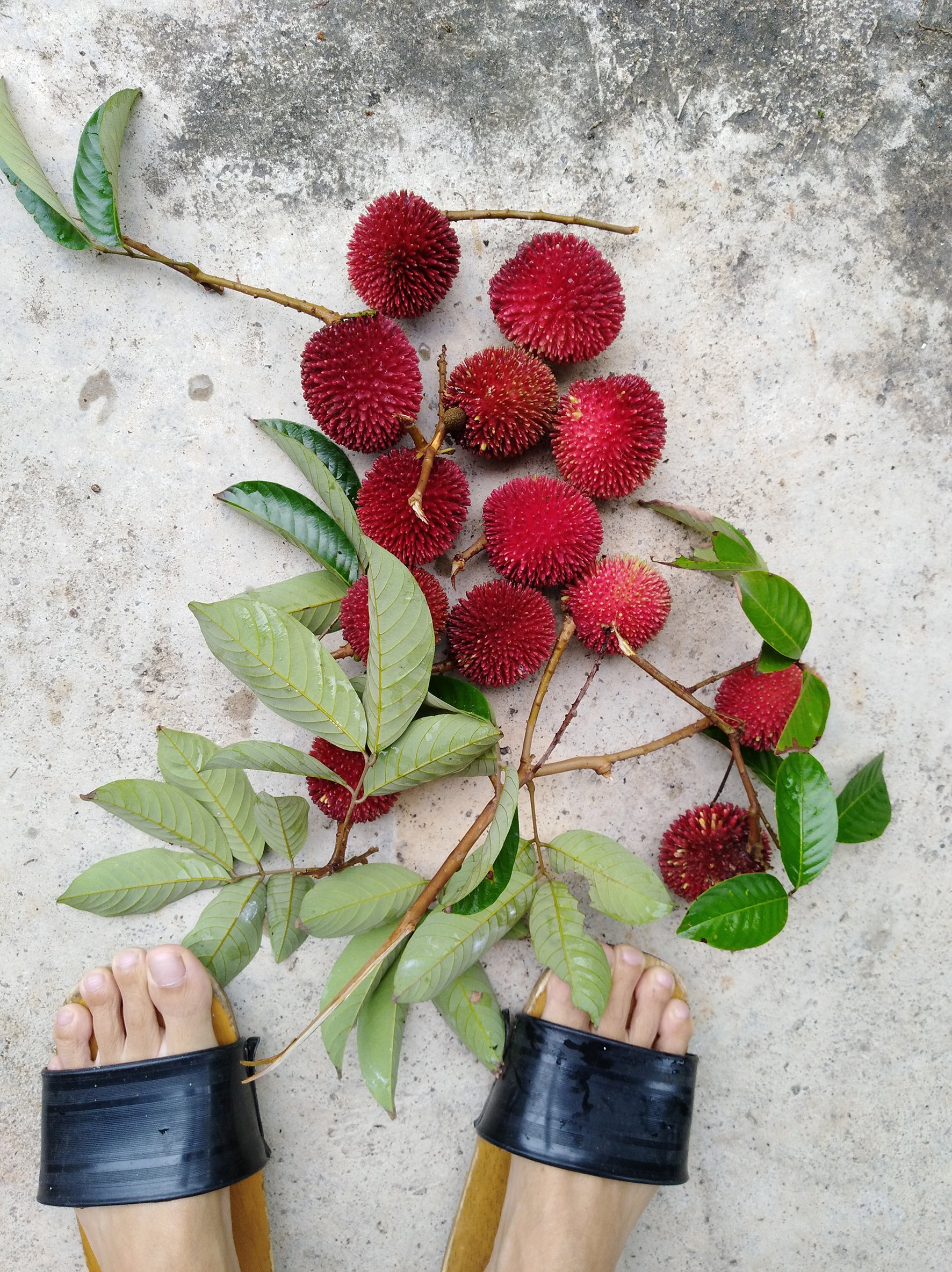 Harvesting pulasan (a premium grade of rambutan)! We share them with our neighbours in exchange for their durians.