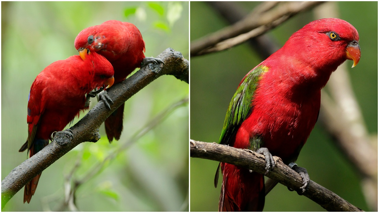 The red lory and chattering lory species.