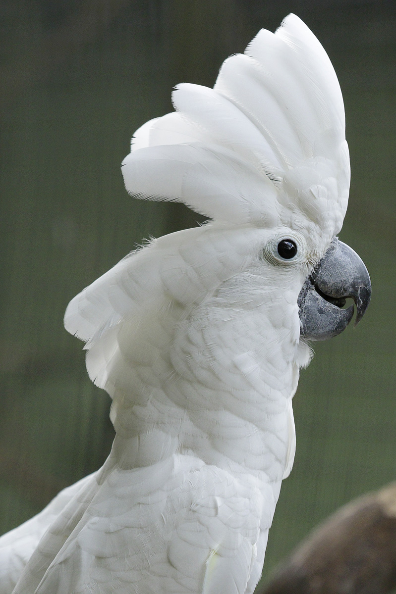 The umbrella cockatoo, an endangered parrot species from Indonesia.