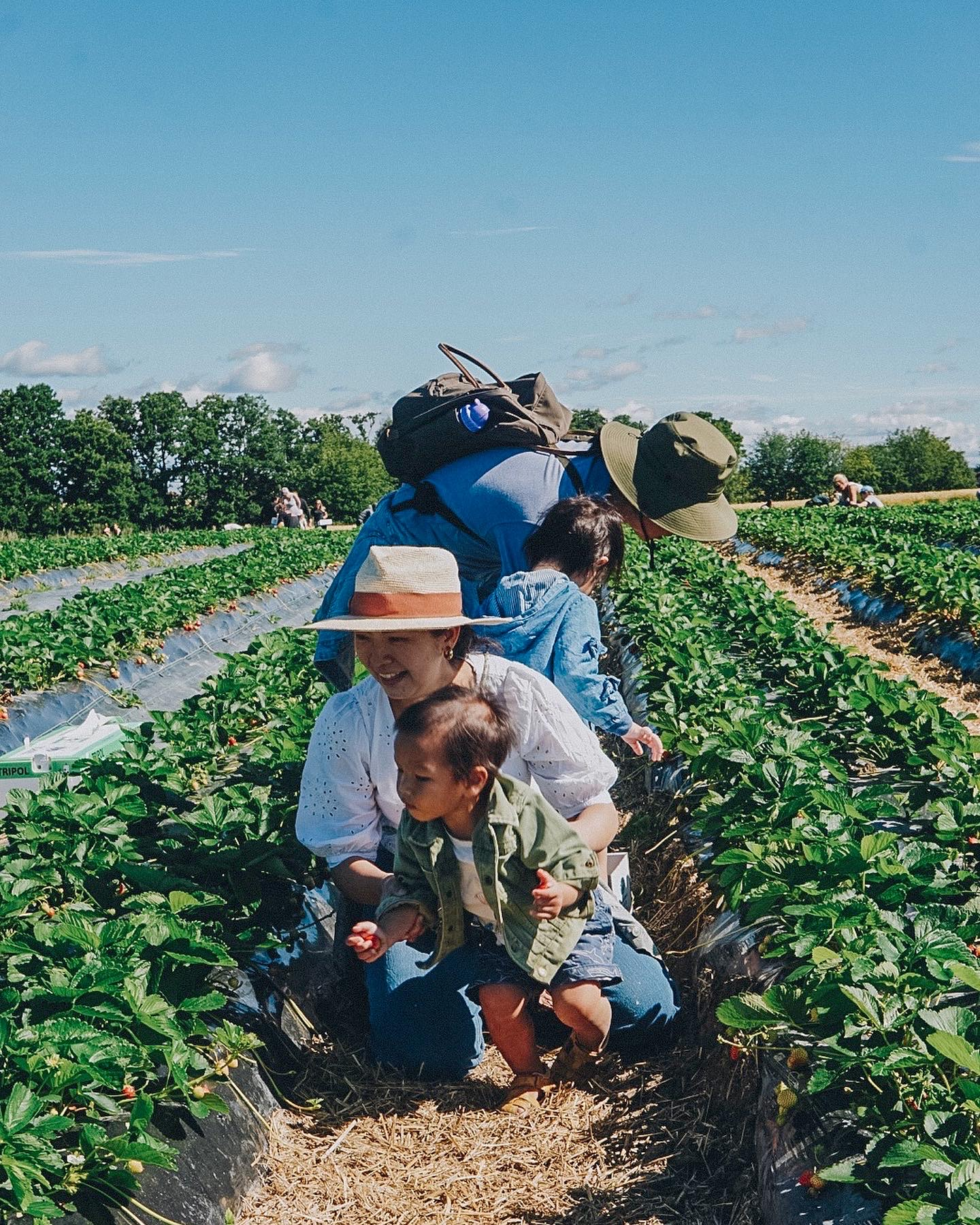 Picking strawberries at a farm in summer.