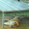 tigerland (avatar)