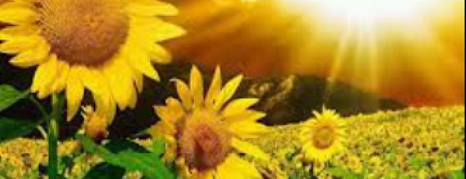 sunflowerislove (cover image)