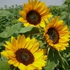 sunflowersss (avatar)