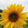 sunflowerislove (avatar)