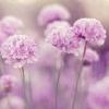 lavendersblue (avatar)